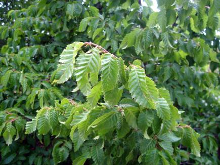 Grab – najbrojnija vegetacija drveća u našoj Općini